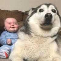 初めて人間の赤ちゃんに会ったハスキー犬の反応が超おもしろ
